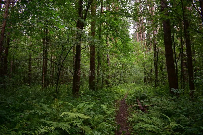 The trail in the deciduous summer green forest, falling tree branches, ferns and grasses. Adorn stock images