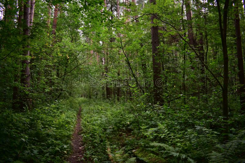 Trail in deciduous summer green woods, rich colours, hang from branches of trees, fern and grass. Decorate royalty free stock photo
