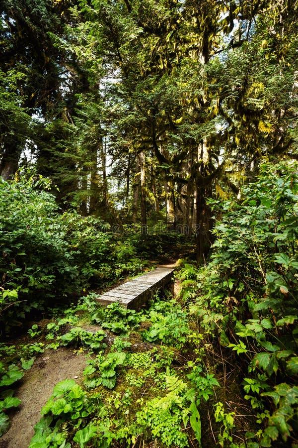 A trail through dense northwest coastal forest royalty free stock photo