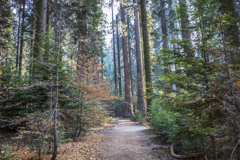 Trail through Forest in Fall with Pine Dogwood Sequoia Redwood T. Path through pine forest in autumn with dogwood trees and Giant Sequoia Redwood trees along stock photos