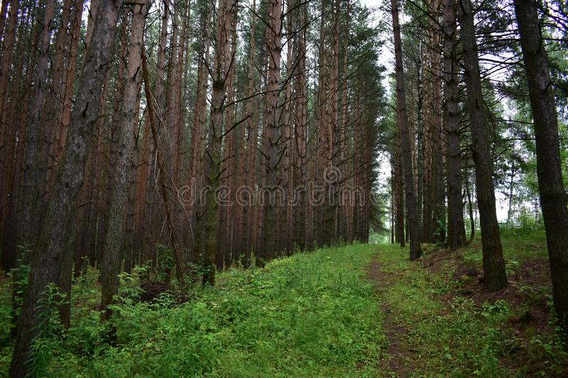 Trail going up the hill in a pine forest of slender coniferous trees royalty free stock photo