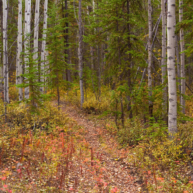 Trail in Golden Aspen Forest. A Trail leads deeper into a fall-colored boreal forest (aspen, Populus tremuloides) in Yukon Territory, Canada stock photos