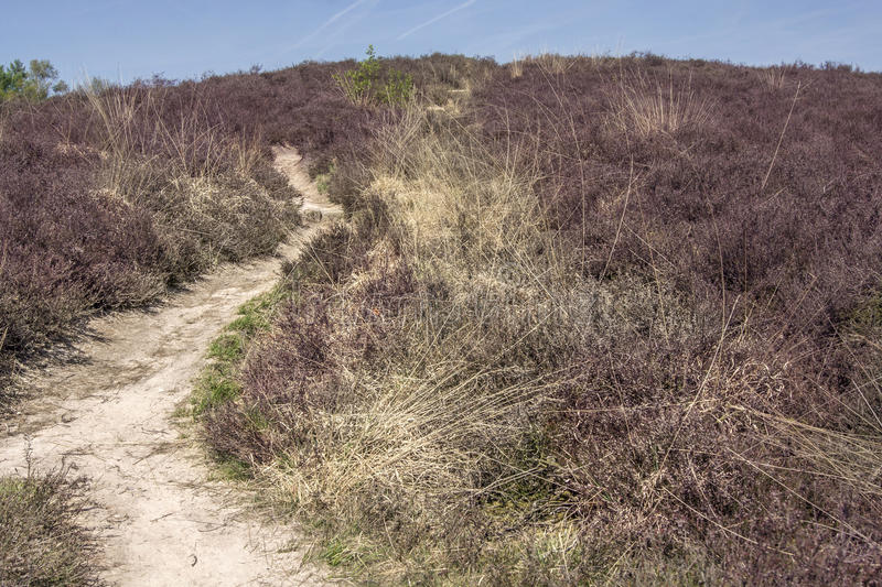Trail through heather in summer royalty free stock photos