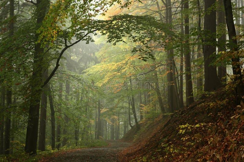 Trail through the misty autumn deciduous forest stock photos