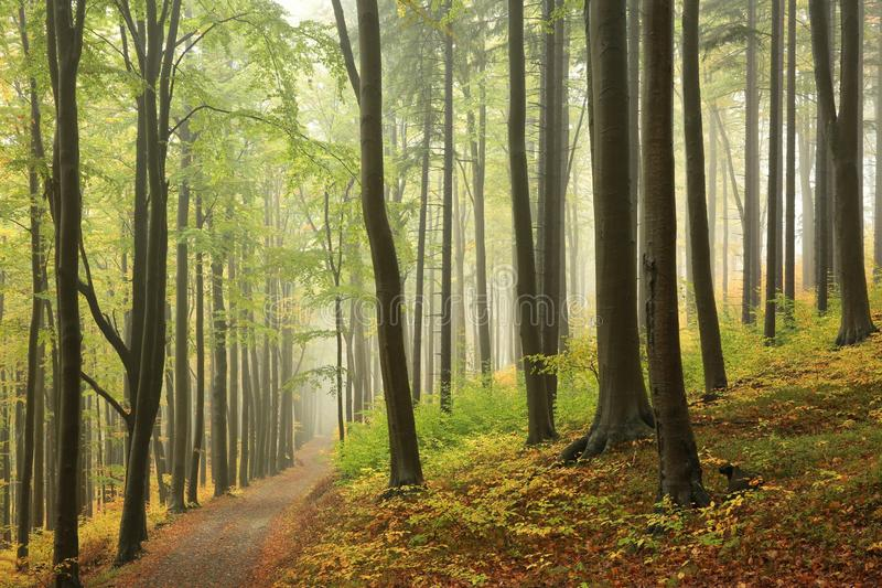 Trail through the misty autumn deciduous forest royalty free stock image
