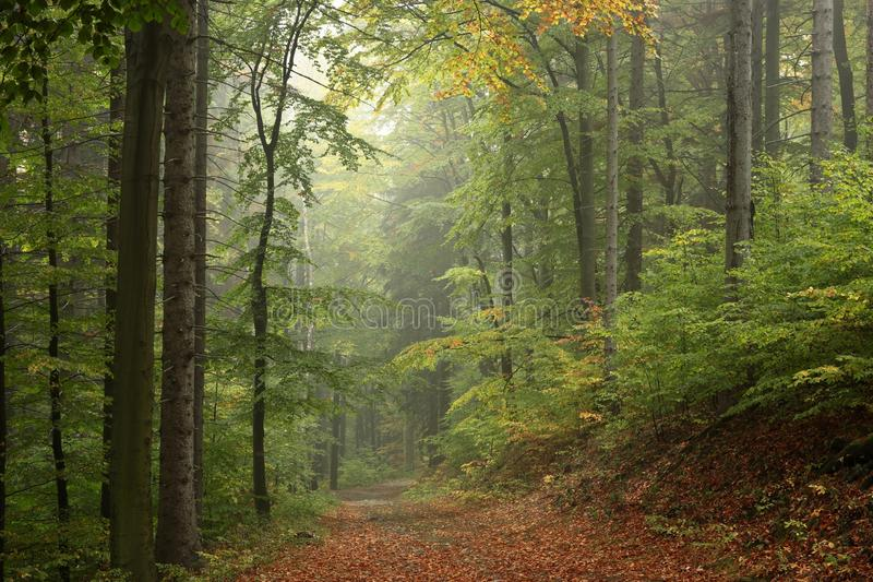 Trail through the misty autumn deciduous forest stock photography