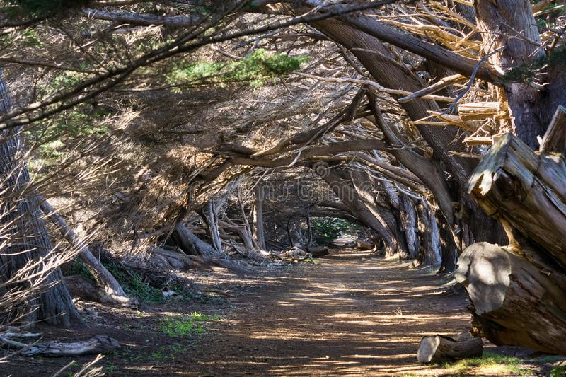 Trail through Monterey Cypress trees Cupressus macrocarpa, California royalty free stock images