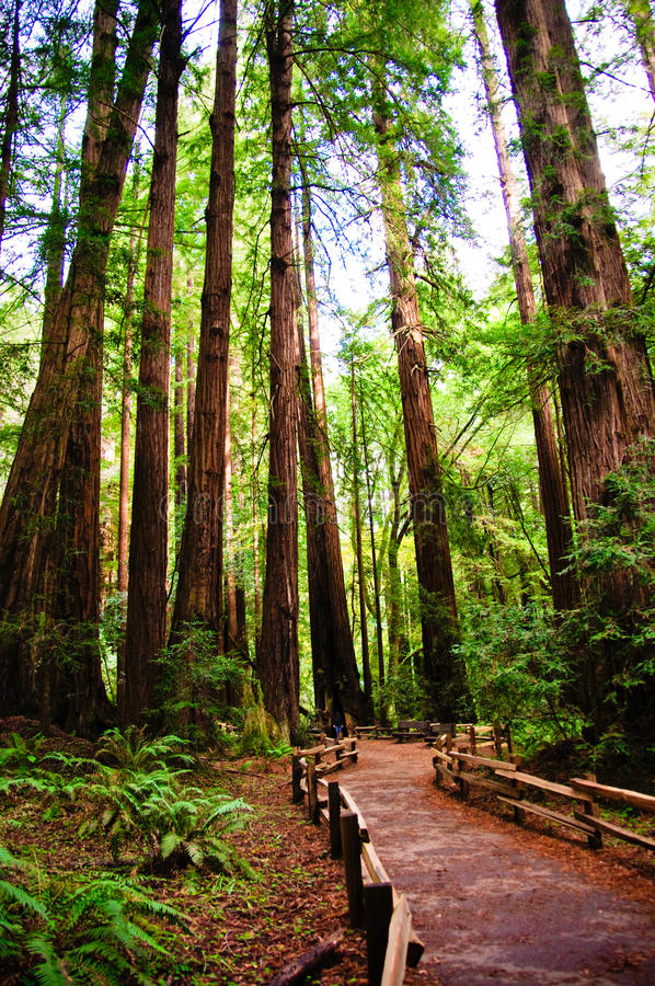 Trail in Muir woods. The Muir Woods National Park royalty free stock photography