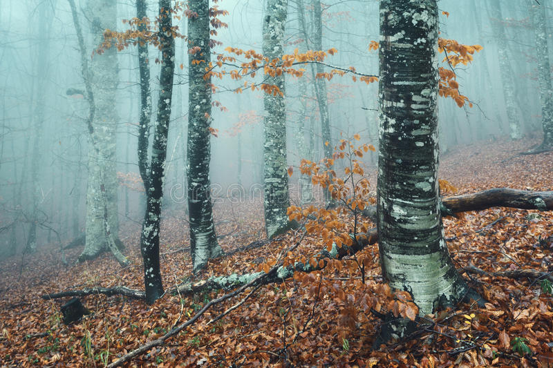 Trail through a mysterious dark old forest in fog. Autumn. Morning in Crimea. Magical atmosphere. Fairytale royalty free stock images