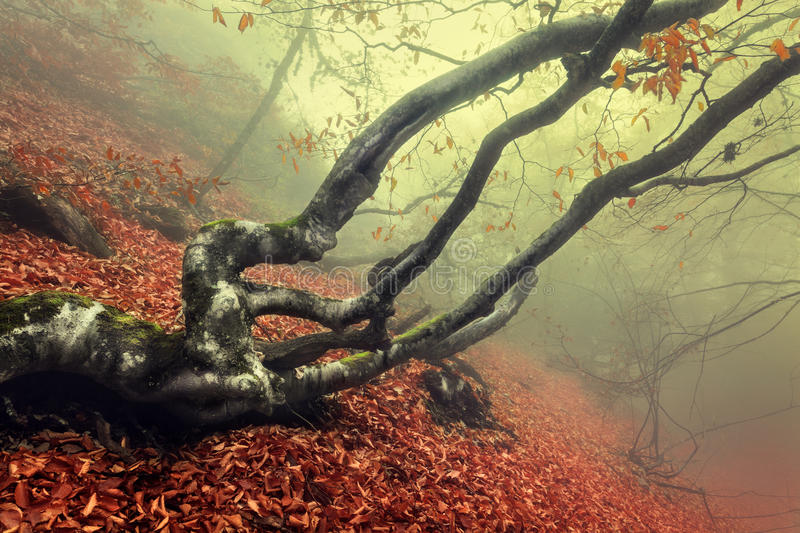 Download Trail Through A Mysterious Dark Old Forest In Fog. Autumn Stock Photo - Image of dreamy, bush: 53928216