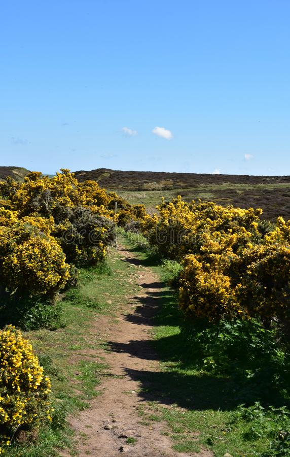 Trail in North Yorkshire Winding through Flowering Gorse Bushes. Dirt trail winding through gorse bushes in bloom royalty free stock photos