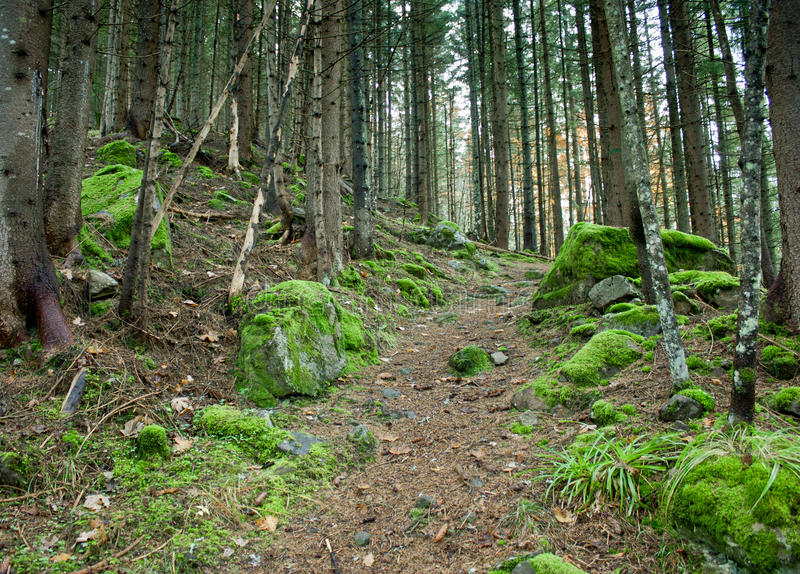 The trail in a pine green, moss covered forest. The trail, the road in a pine green, covered with moss forest stones in moss. Mystic forest stock photography