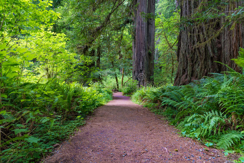 Trail in Redwood National and State Parks royalty free stock image