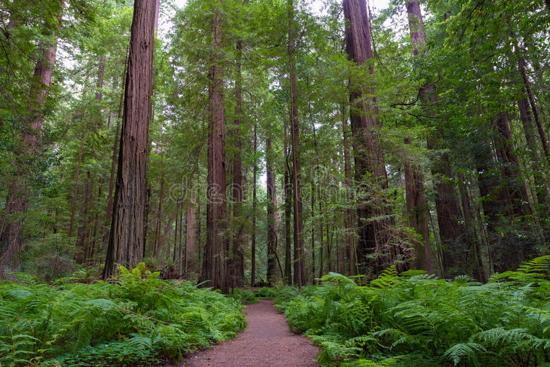 Trail in Redwood National and State Parks stock image