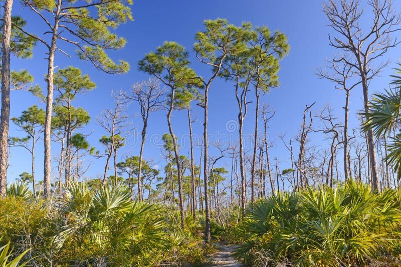 Trail through Slash pines in the Tropics stock image
