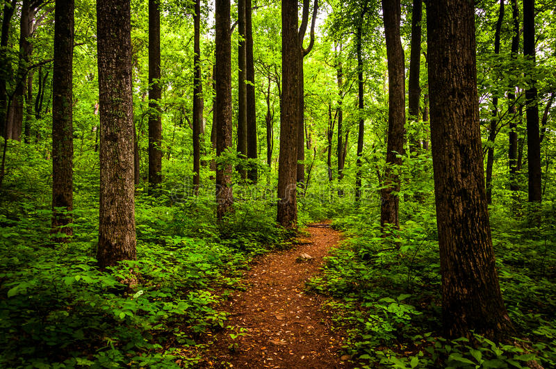 Trail through tall trees in a lush forest, Shenandoah National Park. Virginia stock photos
