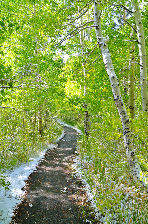 Free Trail Through The Aspens Royalty Free Stock Image - 11576926