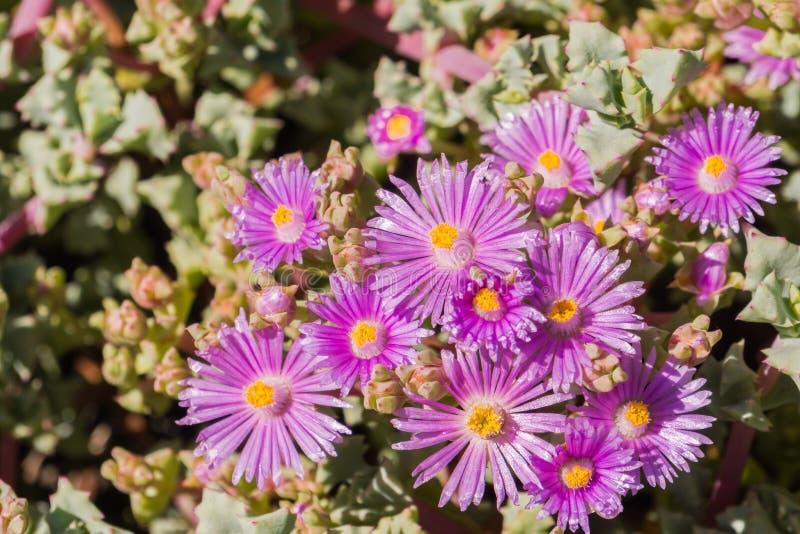 Trailing Iceplant Delosperma cooperi, California stock photos