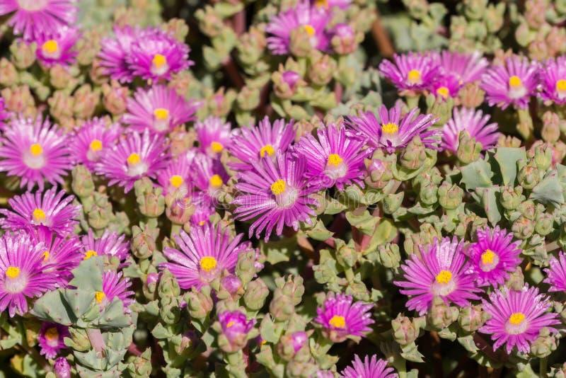 Trailing Iceplant Delosperma cooperi, California royalty free stock photo