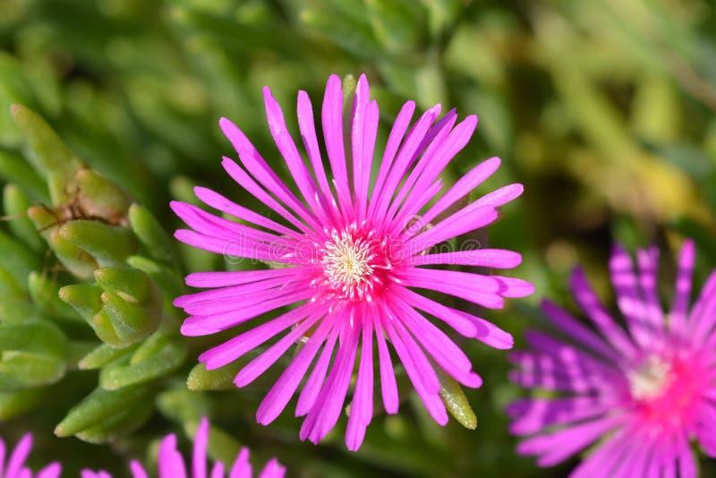 Trailing Iceplant. Pink flower - Latin name - Delosperma cooperi stock photography