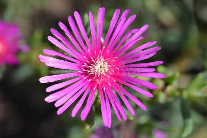 Trailing Iceplant. Pink flower - Latin name - Delosperma cooperi royalty free stock photo
