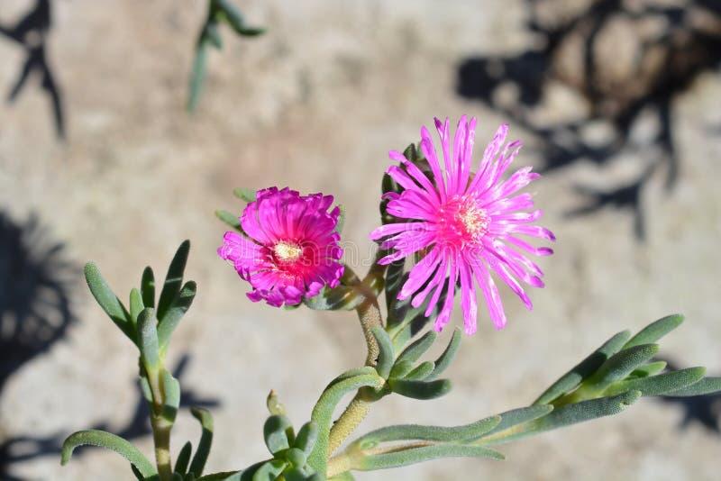 Trailing Iceplant. Pink flower - Latin name - Delosperma cooperi stock images