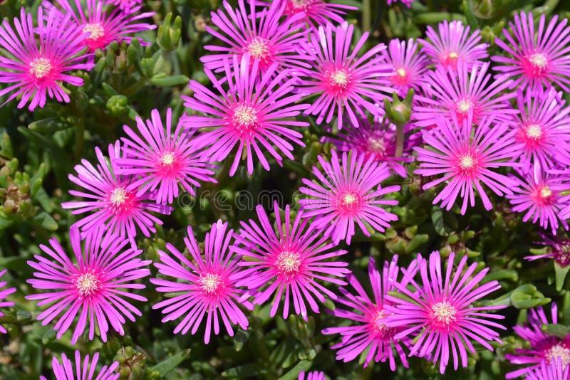 Trailing Iceplant. Pink flowers - Latin name - Delosperma cooperi royalty free stock images