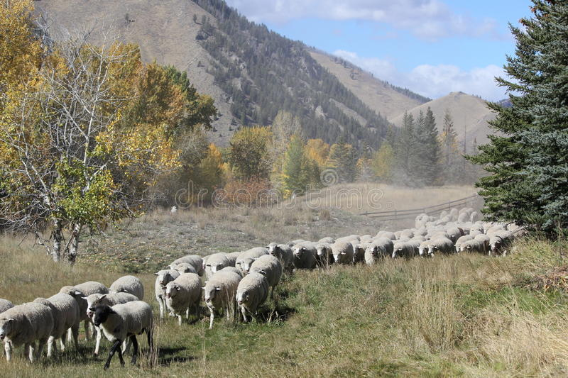 Trailing of the Sheep. Sheep are guided through a field in Idaho on their way South, during the Basque Trailing of the Sheep Festival in Idaho royalty free stock photos