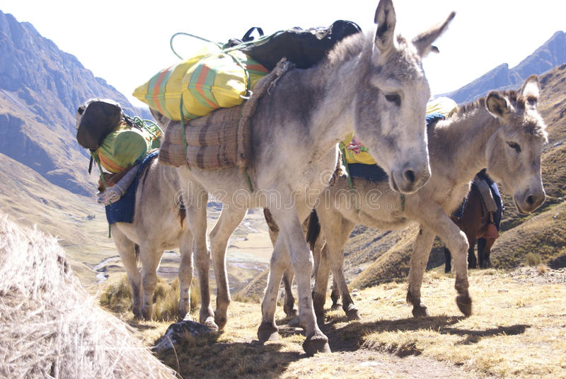 Train de mule, chargements de transport images stock