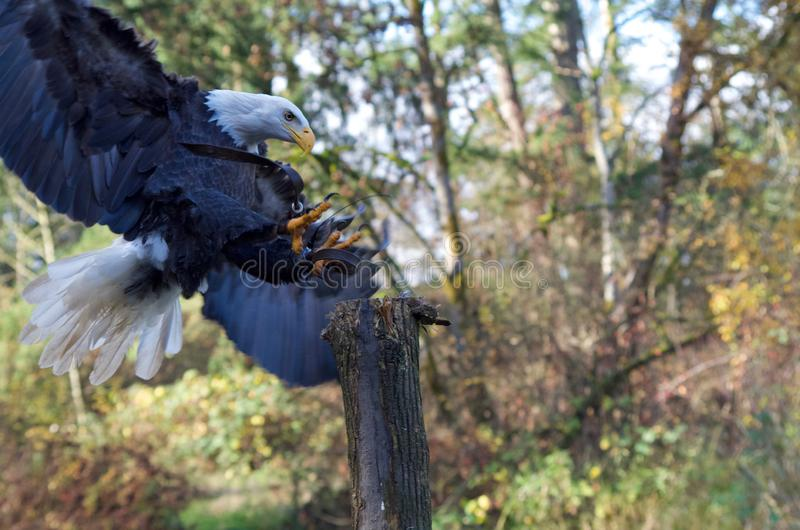 Trained Bald Eagle lands on a post, talons extended stock photography