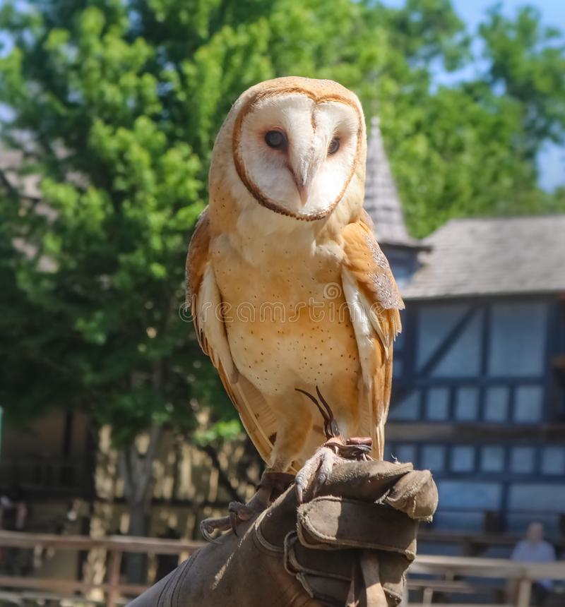 Trained Barn Owl in captivity perching on gloved hand of trainer royalty free stock image
