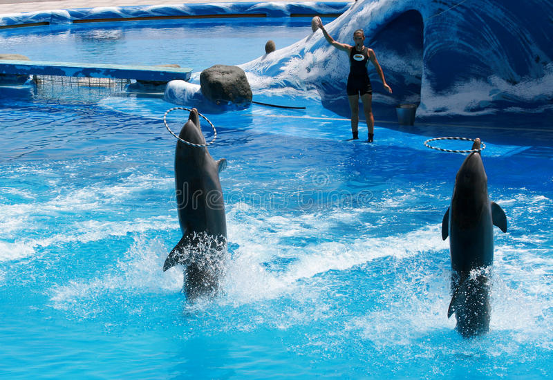 Download Trained Dolphins Playing With Their Trainer Editorial Photo - Image: 19053116