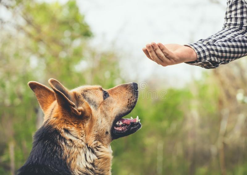 trained German Shepherd performs the exercise. royalty free stock photo