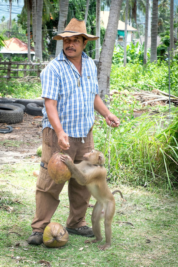 Trained monkey, Thailand. Koh Samui, Thailand - JUNE 26: Monkey theatre in Koh Samui island, Thailand on June 26 2015. Monkeys work for humans in the harvesting stock photos