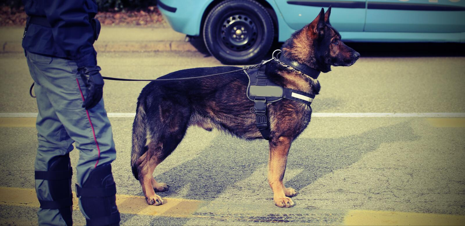 Trained police dog during surveillance along the streets of the. City royalty free stock photography