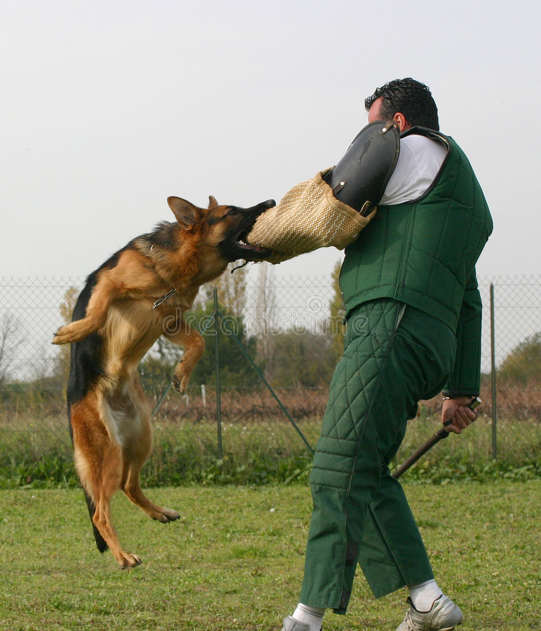 Trainer and his dog. Military dog being trained, attack command. Safety, security concept stock photo