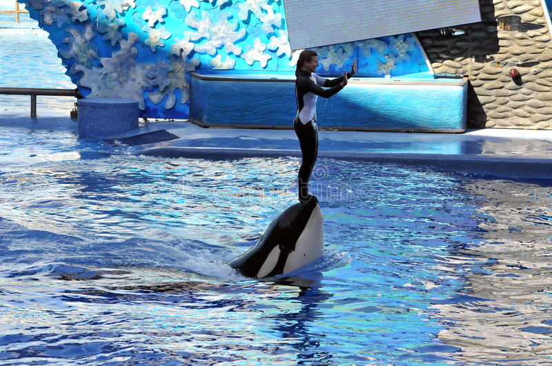 Trainer with Killer Whale stock images