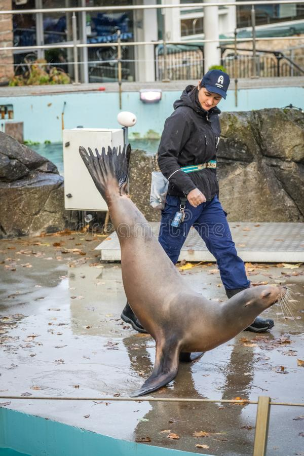 Seal on show. Trainer walking along a large seal that walks on her flippers in Bergen Aquarium show royalty free stock images