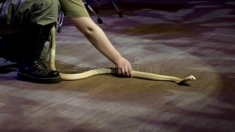 Trainer working with Cobra. Action. Charmer performs on stage with dangerous Cobra barely managing it. Dangerous. Performance in circus with poisonous snakes stock photo