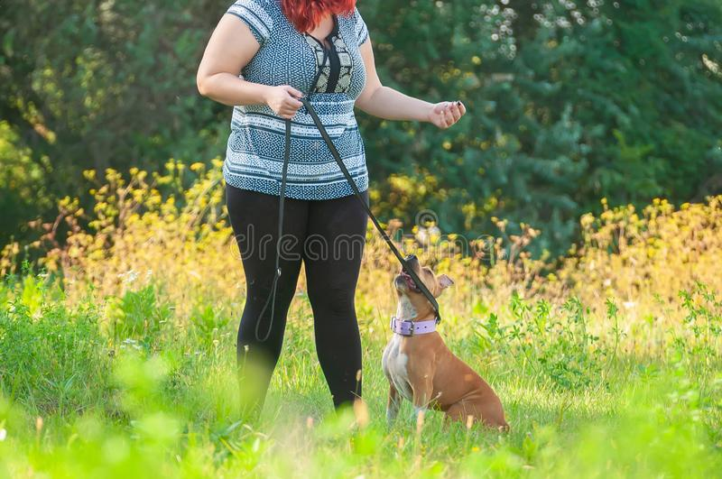 Training of a American Staffordshire Terrier stock images