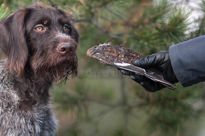 Training hunting dog using wing of black grouse stock photography