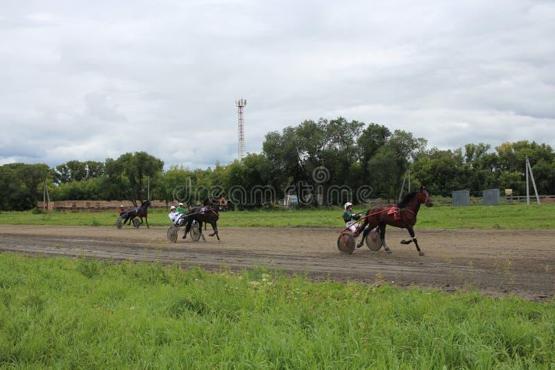 Training Novosibirsk 2017 season race of Trotter horses at the regional race track champion royalty free stock photo