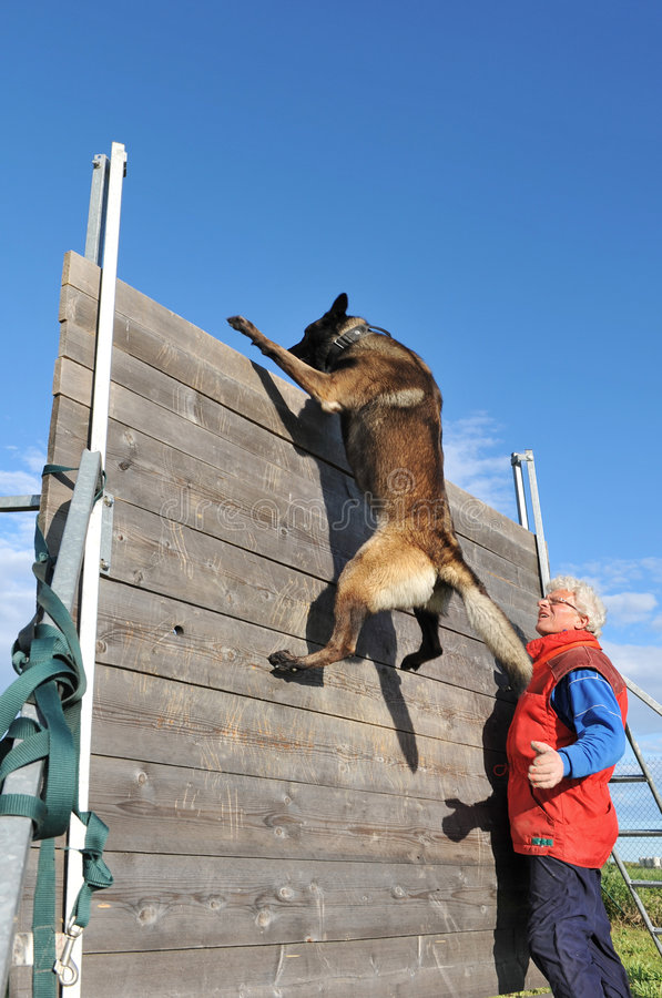 Training of police dog. Training of a police dog with a purebred belgian shepherd malinois stock image