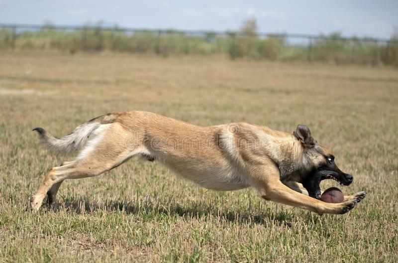 Training of police dog. With assailant in nature stock images