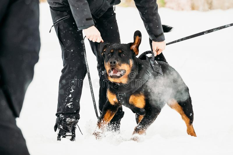 Training Of Rottweiler Metzgerhund Adult Dog. Attack And Defence. Training Of Purebred Black Rottweiler Metzgerhund Adult Dog. Attack And Defence. Winter Season stock photography