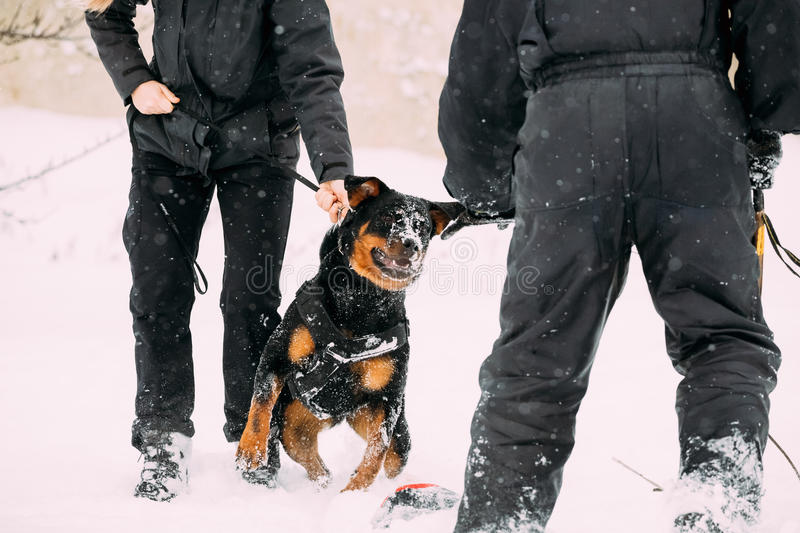 Training Of Rottweiler Metzgerhund Adult Dog. Attack And Defence. Training Of Purebred Black Rottweiler Metzgerhund Adult Dog. Attack And Defence. Winter Season stock photos