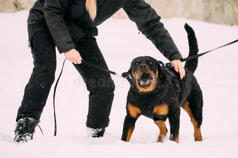 Training Of Rottweiler Metzgerhund Adult Dog. Attack And Defence. Training Of Purebred Black Rottweiler Metzgerhund Adult Dog. Attack And Defence. Winter Season stock photo