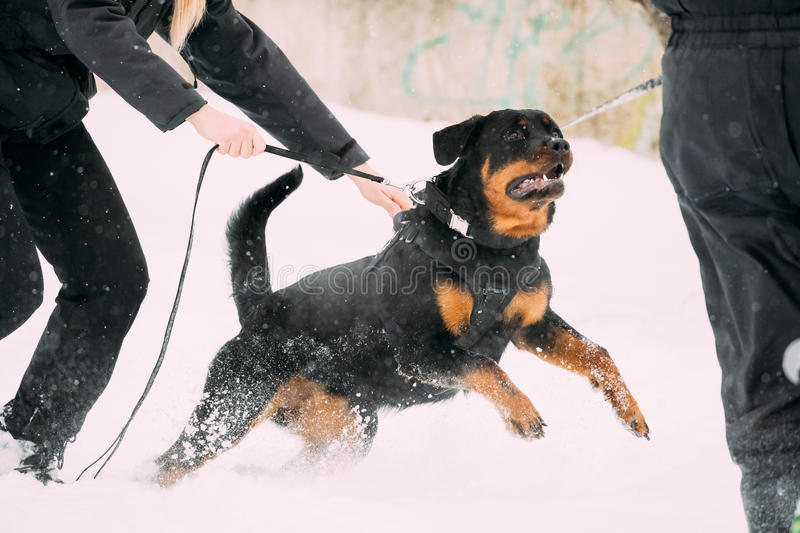 Training Of Rottweiler Metzgerhund Adult Dog. Attack And Defence. Training Of Purebred Black Rottweiler Metzgerhund Adult Dog. Attack And Defence. Winter Season stock image
