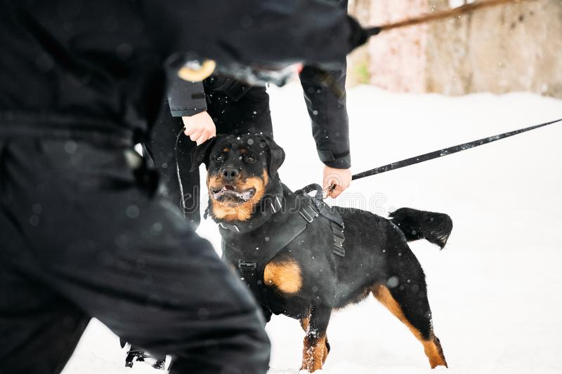 Training Of Rottweiler Metzgerhund Adult Dog. Attack And Defence. Training Of Purebred Black Rottweiler Metzgerhund Adult Dog. Attack And Defence. Winter Season royalty free stock photography