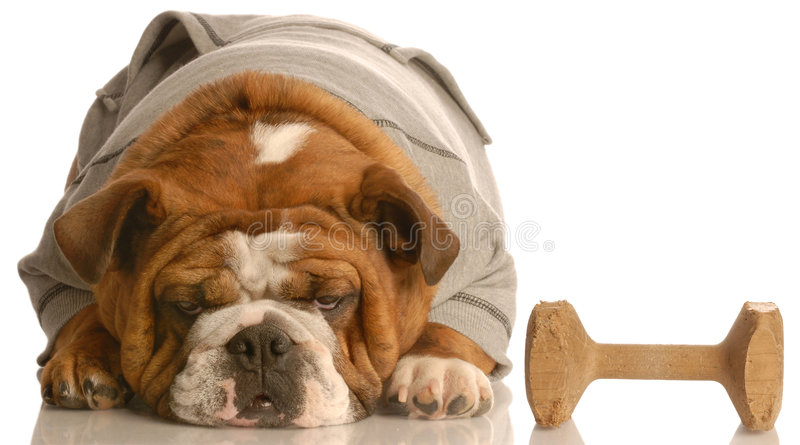 Training a stubborn dog. English bulldog laying down refusing to pick up obedience dumbbell royalty free stock images